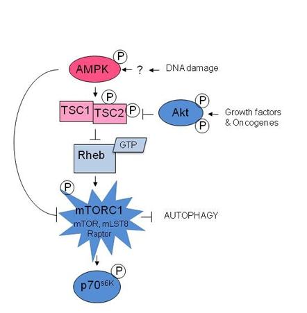 anabolic catabolic and amphibolic pathways