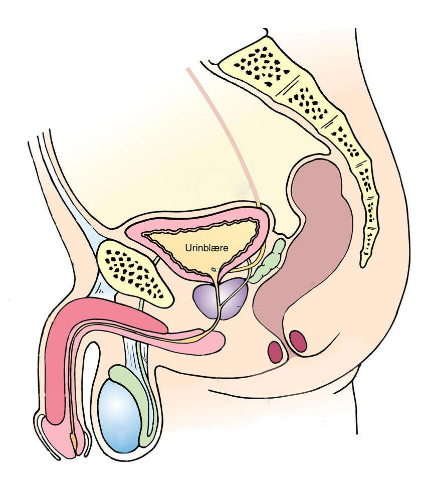 hvor er bunden af penis