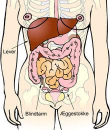 organer i bughulen